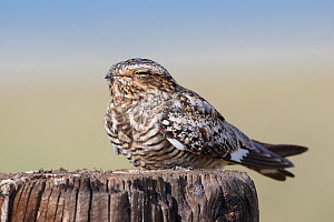 Common nighthawk (Chordeiles minor) female roosting on a fence post. Sublette County, Wyoming, USA. June. - Gerrit  Vyn