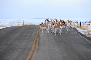 Pronghorns (Antilocapra americana) crossing road during migration, Sublette County, Wyoming, USA. March.  -  Gerrit  Vyn