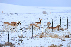 Pronghorns (Antilocapra americana) crawling under fence  in snow during migration, Sublette County, Wyoming, USA. March. - Gerrit  Vyn