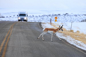 Pronghorn (Antilocapra americana) crossing road during migration, Sublette County, Wyoming, USA. March.  -  Gerrit  Vyn