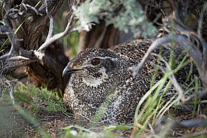 Greater sage-grouse (Centrocercus urophasianus) female incubating eggs on nest, Sublette County, Wyoming, USA. May.  -  Gerrit  Vyn
