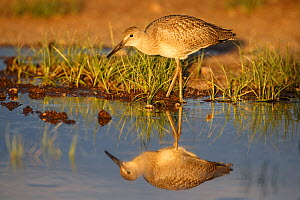 Willet (Tringa semipalmata) juvenile, in flooded pasture. Sublette County, Wyoming, USA.  June. - Gerrit  Vyn