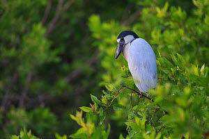Boat-billed Heron (Cochlearius cochlearius) perched on mangrove, Ria Lagartos Biosphere Reserve, Mexico. July.  -  Gerrit  Vyn