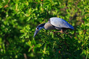 Boat-billed heron (Cochlearius cochlearius) perched, Ria Lagartos Biosphere Reserve, Mexico. July.  -  Gerrit  Vyn