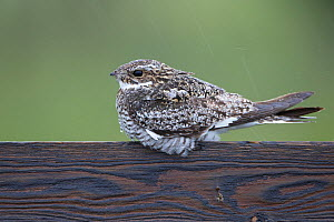 Common nighthawk (Chordeiles minor) male roosting in the rain on a fence. Sublette County, Wyoming, USA. June. - Gerrit  Vyn