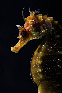 Long snouted seahorse (Hippocampus guttulatus) in captive breeding laboratory at University of Algarve, Portugal. June 2010. Overall winner of the Underwater Photographer of the Year competition 2015.  -  Nuno  Sa