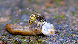 Common wasp (Vespula vulgaris) collecting flesh from a dead Yellow slug (Limax flavus) before flying off with a food ball, Birmingham, England, UK, August.  -  Steve Downer