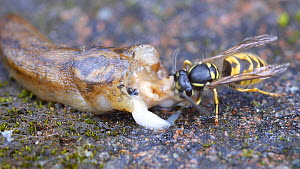 Common wasp (Vespula vulgaris) collecting flesh from a dead Yellow slug (Limax flavus), Birmingham, England, UK, August.  -  Steve Downer