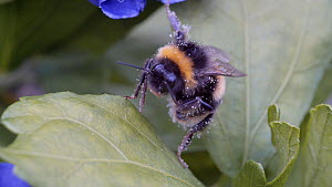 Buff-tailed bumblebee (Bombus terrestris) cleaning its head before flying off, Birmingham, England, UK, August.  -  Steve Downer