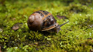 Common snail (Helix aspersa) emerging from shell. Controlled conditions.  -  Steve Downer