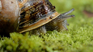 Close up of a Common snail (Helix aspersa) emerging from shell. Controlled conditions.  -  Steve Downer
