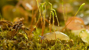 Baby Yellow slug (Limax flavus) crawling over moss. Controlled conditions.  -  Steve Downer
