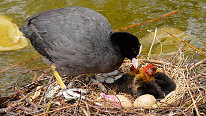 Coot (Fulica atra) preening at nest before settling to incubate chicks and eggs, Birmingham, England, UK, May.  -  Steve Downer