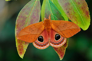 Silkmoth (Pseudautomeris luteata) male, Maua da Serra, Brazil. Controlled conditions. - Robert  Thompson