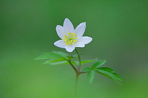 Wood anemone (Anemone nemorosa) flower, Clare Glen, Tandragee, County Armagh, Northern Ireland. - Robert  Thompson