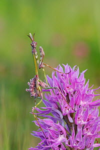 Conehead mantis (Empusa pennata) male nymph on Naked man orchid (Orchis italica) Niscemi, Sicily, April.  -  Robert  Thompson