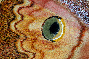 Close up of eyespot of Silkmoth (Caligula thibeta) from Southern China. Controlled conditions. - Robert  Thompson