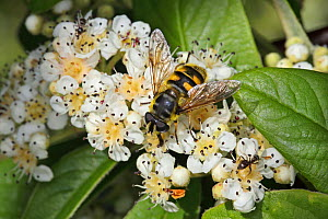 Hoverfly (Myathropa florea) feeding on Cotoneaster flower in garden, Cheshire, England, UK, June.  -  Alan  Williams