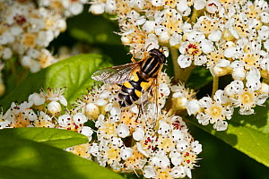 Hoverfly (Helophilus trivittatus) feeding on Cotoneaster flower in garden, Cheshire, England, UK, June. - Alan  Williams