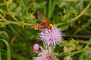 Hornet hoverfly (Volucella zonaria) feeding on Creeping thistle (Cirsium arvense) at edge of woodland, Cheshire, UK, August. - Alan  Williams