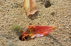 Blackback land crab (Gecarcinus lateralis) dragging leaf into burrow, Barbados.  -  Adrian Davies