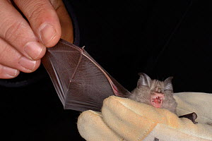Lesser horseshoe bat (Rhinolophus hipposideros) held to inspect its wing during an autumn swarming survey by the Wiltshire Bat Group, near Box, Wiltshire, UK, September. Model released. - Nick Upton