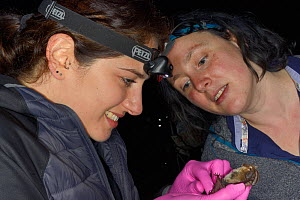 Laura Hammerton and Dr. Danielle Linton inspecting and sexing a Brown long-eared bat (Plecotus auritus) during an autumn swarming survey run by the Wiltshire Bat Group, Box mine, Wiltshire, UK, Septem...  -  Nick Upton
