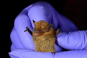 Common pipistrelle bat (Pipistrellus pipistrellus) held during an autumn swarming survey run by the Wiltshire Bat Group, near Box, Wiltshire, UK, September. Model released. - Nick Upton