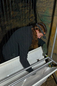 Wiltshire Bat Group member retrieving a bat from the collecting trough of a harp trap set inside Box mine during an autumn swarming survey run by Wiltshire Bat Group, Box, Wiltshire, UK, September. Mo... - Nick Upton