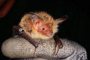 Ringed Bechstein's bat (Myotis bechsteinii), a rare, endangered species of ancient woodlands in the UK, held during an autumn swarming survey run by the Wiltshire Bat Group, near Box, Wiltshire, UK, S... - Nick Upton