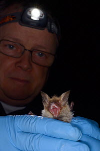 Bechstein's bat (Myotis bechsteinii), a rare, endangered species of ancient woodlands in the UK, held during an autumn swarming survey run by the Wiltshire Bat Group, near Box, Wiltshire, UK, Septembe... - Nick Upton