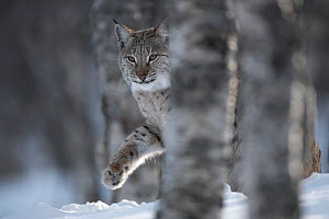 European lynx (Lynx lynx) adult female walking through snow behind tree in winter birch forest, captive.   Norway. April. - Peter Cairns