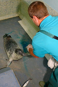 Dan Jarvis offering a Grey seal pup (Halichoerus grypus) 'Kerplunk' a fish as it recovers from an operation to remove a damaged, rotting rear flipper, Cornish Seal Sanctuary hospital, Gweek, Cornwall,...  -  Nick Upton