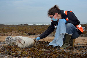 Michelle Clement, a British Divers Marine Life Rescue animal medic inspecting the tail flippers of a sick, injured Grey seal pup (Halichoerus grypus) 'Jenga', with bite marks on its flippers and body...  -  Nick Upton