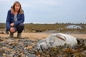Donna La Broy looking at a sick, injured Grey seal pup (Halichoerus grypus) 'Jenga', with bite marks on its flippers and body and a runny nose, which she found washed up on the tide line, Widemouth Ba... - Nick Upton