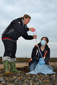 Rachel Shorland and Michelle Clement, British Divers Marine Life Rescue animal medics, giving rehydration fluids to a very weak, injured, Grey seal pup (Halichoerus grypus) 'Jenga', washed up on a bea...  -  Nick Upton