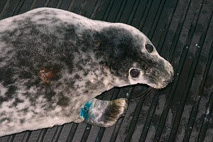 Injured grey seal pup (Halichoerus grypus) 'Jenga' after initial veterinary treatment at a British Divers Marine Life Rescue seal pup treatment facility before going on to the Cornish Seal Sanctuary,...  -  Nick Upton