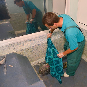 Dan Jarvis wrapping a recovering Grey seal pup (Halichoerus grypus) 'Boggle', now with its white baby coat shed, in a towel before feeding it in a cubicle at the Cornish Seal Sanctuary hospital, Gweek... - Nick Upton