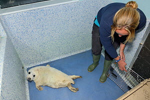 Sick, injured Grey seal pup (Halichoerus grypus) 'Boggle',  released into a cubicle in the Cornish Seal Sanctuary hospital by Reychell Harris, Gweek, Cornwall, UK, October. Model released.  -  Nick Upton