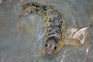 Recovering Grey seal pup (Halichoerus grypus) 'Uno' in a small swimming pool in the Cornish Seal Sanctuary hospital, Gweek, Cornwall, UK, October.  -  Nick Upton