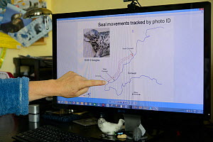 Sue Sayer of the Cornwall Seal Group pointing out movements of an individual Grey seal (Halichoerus grypus) 'Dangles' along the Cornish coast, identified by studying  photographs of its unique coat pa...  -  Nick Upton
