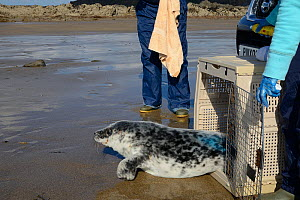 Healthy grey seal pup (Halichoerus grypus) that was being harassed by dogs,  being released from a crate on a quieter beach by a British Divers Marine Life Rescue team, marked with blue spray to show...  -  Nick Upton