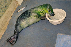Partially blind Grey seal pup (Halichoerus grypus) 'One-eyed Jack' learning to find fish for itself in a bowl of seawater in the Cornish Seal Sanctuary hospital, Gweek, Cornwall, UK, October.  -  Nick Upton