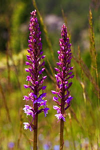 Fragrant orchid (Gymnadenia conopsea) two flower spikes in alpine meadow Vercors Regional Natural Park, France  -  Mike Read