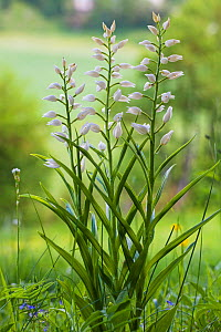 Narrow-leaved helleborine (Cephalanthera longifolia) Vercors Regional Natural Park, France, June.  -  Mike Read