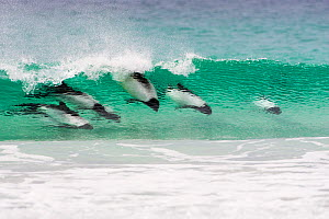 Commerson's dolphin (Cephalorhynchus commersonii) pod, surfing the waves, Saunders Island, Falkland Islands, November.  -  Mike Read