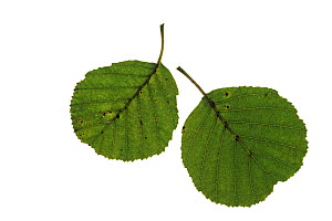Common alder (Alnus glutinosa) leaves on white background.  -  Mike Read