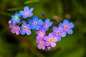 Alpine wood forget-me-not (Myosotis alpina) close-up of flowers, Vercors Regional Natural Park, France, June. - Mike Read