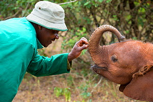 Keeper interacting with young African elephant (Loxodonta africana) after feeding it, David Sheldrick African Elephant Orphanage. Nairobi National Park, Nairobi, Kenya. - Inaki  Relanzon