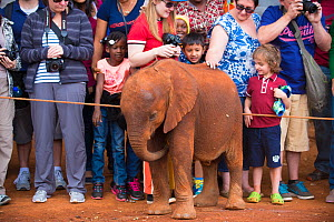 Tourists watching and petting African elephant (Loxodonta africana) calf. David Sheldrick African Elephant Orphanage. Nairobi National Park, Nairobi, Kenya.  -  Inaki  Relanzon